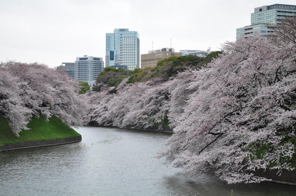 chiyoda-sakura